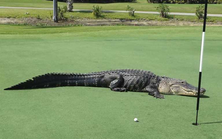 Gators on the Golf Course
