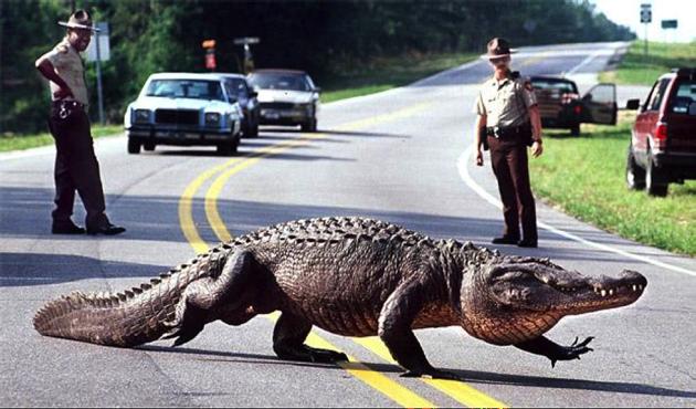 Here come the alligators