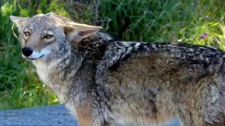 Florida's Growing Coyote Population